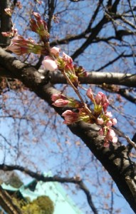 桜坂、桜、つぼみ